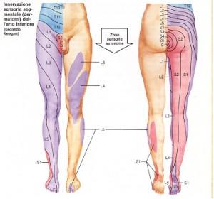 Ernia discale vertebrale innervazione arti